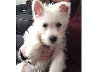 West highland terroir puppy (boy)