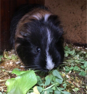 Beautiful two and half mths old female guinea pig