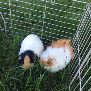 Female guinea pig looking for a sweet home