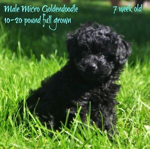 Only 1 sweet little male micro goldendoodle left