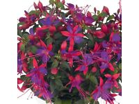 Fuchsia plants for sale unusual variety's , firm favourites