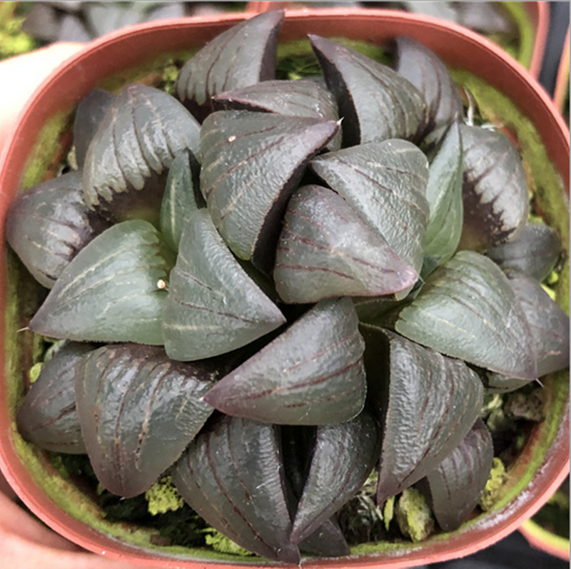 8cm Haworthia crystal Haworthia emelyae var comptoniana Succulent potted plant