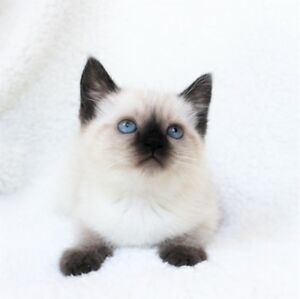 Ragdoll Siamese kittens are available for their new homes,.
