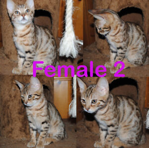 Purebred Chatons Cheetoh -  MT  Ocicat, Bengal, Abyss