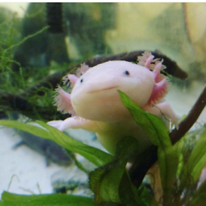 Super cute baby axolotls! Pink/white and wild types