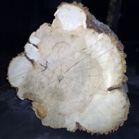 """Slice of a Wooden Pine Tree Trunk - 32"""" x 10"""" Slab"""