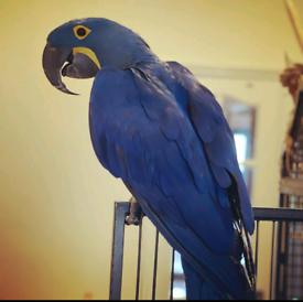 Lost Blue Parrot