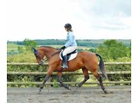 15.2hh Standardbred for sale