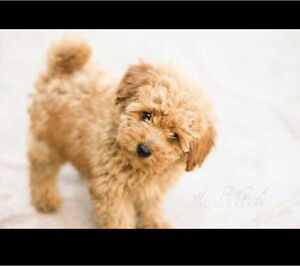 WANTED: small breed dog Salisbury North Salisbury Area Preview