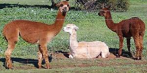 Alpaca Wethers For Sale Bullsbrook Swan Area Preview
