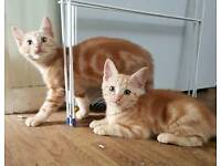 Pure Ginger male kittens