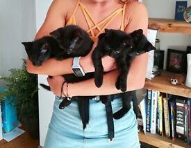3 beautiful and rare black smoke ghost tabby kittens