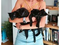 3 beautiful and rare black smoke ghost tabby kittens