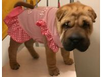 Female Fawn Shar Pei Puppy 8 weeks