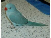 Blue ringneck