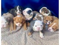 Kc English bulldog pups