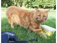 Ginger male 3 year old medium haired tabby missing from Newland Park Drive, YO10, York
