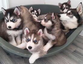 Siberian Husky Pups - Ready 14/05/2021