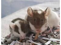 Angora fancy mice READY NOW