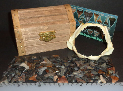 """Shark Tooth Pirate Treasure Chest! Real 3.0"""" Shark Jaw! With 100+ sharks teeth"""