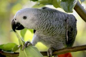 One year old african grey parrot 100% pure healthy
