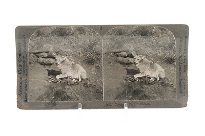 Coyote in Trap -Original 1900s Keystone Stereo View photograph