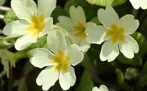 Pack x6 'Primula Vulgaris' Wild Primrose ™Perennial Garden Plug Plants