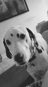 "Adult Male Dog - Dalmatian: ""Damien"""