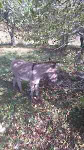 2 miniature jack donkeys Cornwall Ontario image 2