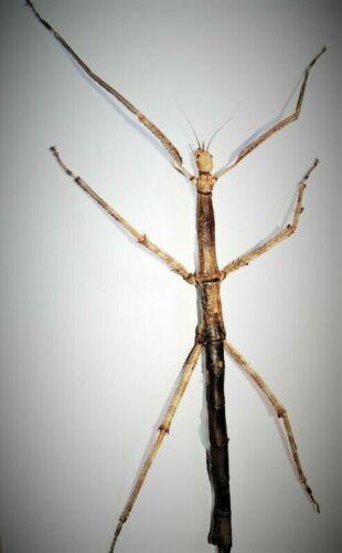 Uncommon Giant Asian Winged Stick Bug Tirachoidea westwoodi Female Closed USA