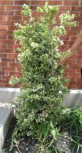Approx 5 ft upright boxwood tree