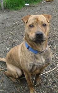 "Adult Male Dog - Pit Bull Terrier-Shar Pei: ""Buddy"""