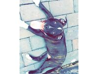 7 month old Staffordshire bull terrier