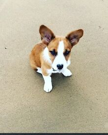 Beautiful Jack Russell/Collie for sale