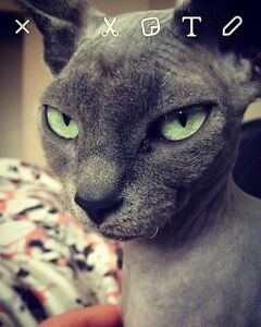 Grey female hairless cat for sale