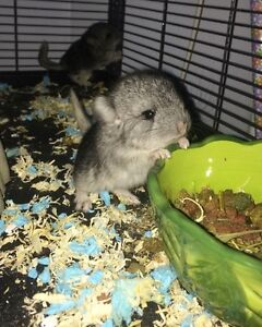 Two Chinchillas- must go together Peterborough Peterborough Area image 1