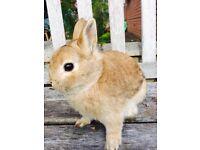 Dwarf rabbit ginger male