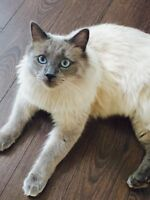 Fixed male seal point Siamese