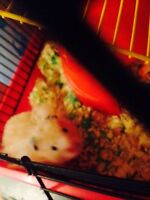 2 separate hamsters free to good home
