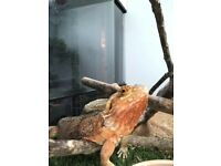 Bearded Dragon with vivarium and all the equipment