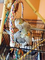 Female cockatiels - cage/accessories included