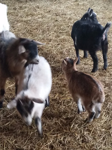 Pygmy goats for sale.