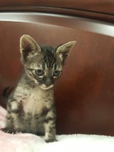 TICA reg Savannah kittens and cats