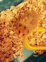Hamster Poil long Tout équipée