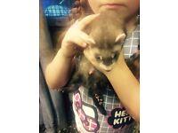 Baby ferret