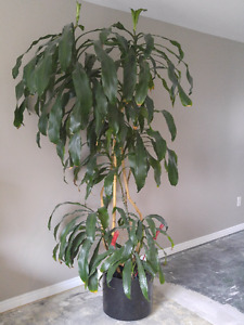 Over 7' high Corn Flower, Tall, 7 Trees in 1, Mature, $75