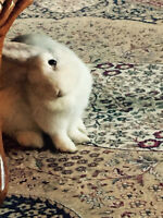 A Holland Lop rabbit is available for adoption.