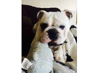 Victorian bulldog for sale - Gary.