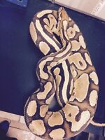 Fire female Ball Python ( Breeding size )