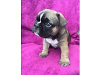 4 french bulldog puppy's kc reg